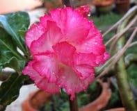 Desierto Rose Fotografía de archivo