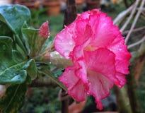 Desierto Rose Imagen de archivo