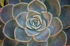Desierto Rose Imagenes de archivo