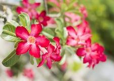 Desierto Rose, lirio de impala, azalea falsa fotografía de archivo