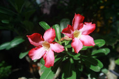 Desierto Rose, lirio de impala, azalea falsa Foto de archivo libre de regalías
