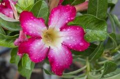 Desierto Rose, lirio de impala, flor falsa del rosa de la azalea y descensos de r imágenes de archivo libres de regalías