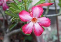 Desierto Rose o flor de Lily Tropical del impala en un árbol Fotos de archivo