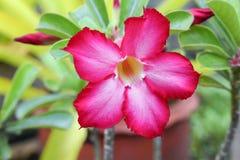 Desierto Rose o flor de Lily Tropical del impala en un árbol Imagen de archivo libre de regalías