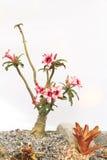 Desierto Rose Pink y blanco Foto de archivo