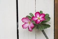 Desierto Rose rosado, lirio de impala foto de archivo