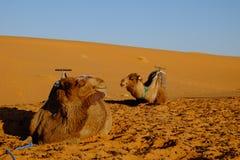 Desierto Sáhara de los camellos Fotos de archivo