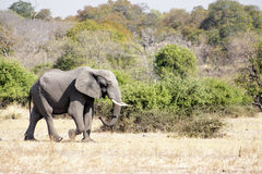 Desierto solo de la travesía de Bull del elefante Fotos de archivo libres de regalías