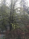 Desierto viejo del invierno del musgo del árbol Fotos de archivo