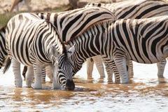 Desiertos y naturaleza africanos de las cebras del mamífero en parques nacionales fotografía de archivo libre de regalías