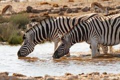 Desiertos y naturaleza africanos de las cebras del mamífero en parques nacionales imagen de archivo