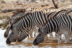 Desiertos y naturaleza africanos de las cebras del mamífero en parques nacionales imagen de archivo libre de regalías