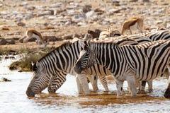 Desiertos y naturaleza africanos de las cebras del mamífero en parques nacionales fotos de archivo libres de regalías
