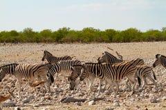 Desiertos y naturaleza africanos de las cebras del mamífero en parques nacionales foto de archivo