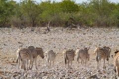 Desiertos y naturaleza africanos de las cebras del mamífero en parques nacionales fotos de archivo