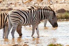 Desiertos y naturaleza africanos de las cebras del mamífero en parques nacionales fotografía de archivo