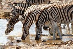 Desiertos y naturaleza africanos de las cebras del mamífero en parques nacionales imagenes de archivo