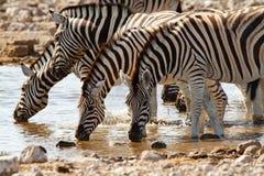 Desiertos y naturaleza africanos de las cebras del mamífero en parques nacionales imágenes de archivo libres de regalías