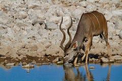 Desiertos y naturaleza de Kudu Namibia en parques nacionales imagen de archivo libre de regalías