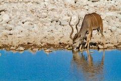 Desiertos y naturaleza de Kudu Namibia en parques nacionales imágenes de archivo libres de regalías