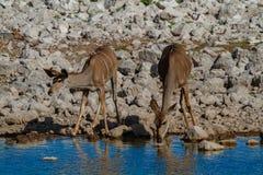 Desiertos y naturaleza de Kudu Namibia en parques nacionales imagen de archivo