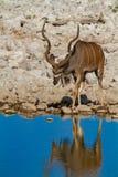 Desiertos y naturaleza de Kudu Namibia en parques nacionales fotos de archivo
