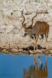 Desiertos y naturaleza de Kudu Namibia en parques nacionales fotografía de archivo