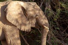Desiertos y naturaleza del elefante del desierto en parques nacionales foto de archivo