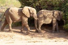 Desiertos y naturaleza del elefante del desierto en parques nacionales imagen de archivo