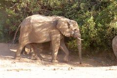 Desiertos y naturaleza del elefante del desierto en parques nacionales fotografía de archivo