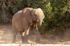 Desiertos y naturaleza del elefante del desierto en parques nacionales foto de archivo libre de regalías