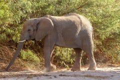 Desiertos y naturaleza del elefante del desierto en parques nacionales fotografía de archivo libre de regalías