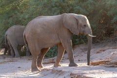 Desiertos y naturaleza del elefante del desierto en parques nacionales fotos de archivo