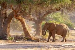 Desiertos y naturaleza del elefante del desierto en parques nacionales imagen de archivo libre de regalías
