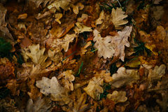 Design background with autumn recent colorful leaves Royalty Free Stock Photo
