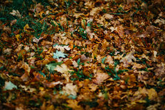 Design background with autumn recent colorful leaves Royalty Free Stock Photos