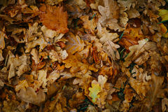 Design background with autumn recent colorful leaves Royalty Free Stock Images