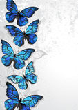Design with blue butterflies morpho Royalty Free Stock Images
