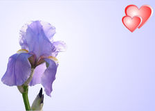 Design of card. Two red hearts and lilac iris on a pale lilac background Stock Photography