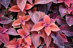 Design of Coleus Stock Photography