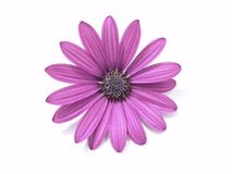 Design Elements: Flower Head. Purple Marguerite, Osteospermum, on white background Stock Photography