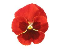 Design Elements: Red Pansy. Isolated pansy flower-head, Viola x wittrockiana Stock Photos