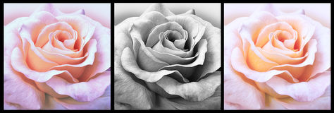 Design för tre rosor Arkivbilder