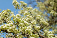 Design för vårblomningkonst Fruktträdgårdplats Blomstra trädet med solstrålar härlig grön natur för bakgrund Arkivfoton