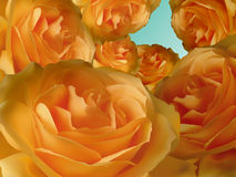 design floral orange rose Arkivbild