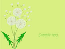 Design of flowers dandelion. Vector illustration. Royalty Free Stock Photo