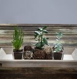 Design green succulent plants on genuine wooden table, grey background Stock Photography