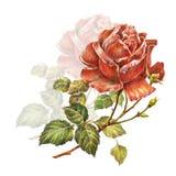 design illustration space 与树荫的红色玫瑰在白色背景 库存例证