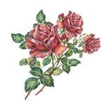 design illustration space 在白色背景的花束英国兰开斯特家族族徽 向量例证