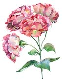 design illustration space 水彩花束在白色背景的桃红色玫瑰 向量例证